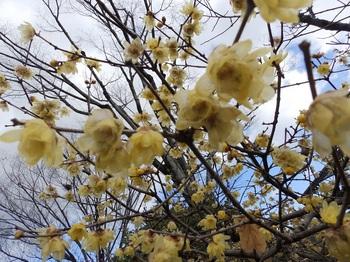 梅林公園蠟梅P2010025.JPG
